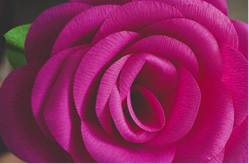 giant hot pink roses
